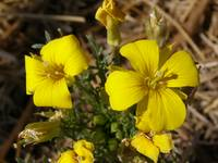 Yellow western wallflower