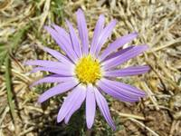 A purple daisy
