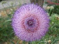 A large purple milk thistle
