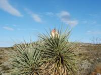 A blooming Yucca plant
