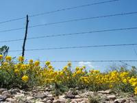 Yellow wildflowers under a barbed wire fence