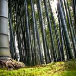"""bamboo roots"" by philippephoto"