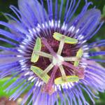 """Passion Flower"" by jrotem"