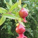 """""""Pomegranate 2"""" by jrotem"""