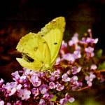 """""""Mellow Yellow"""" by amyhowe"""