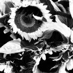 """sunflowers"" by danielfriedman"