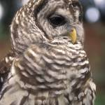"""Barred Owl"" by SailGuy"