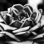 """Rose II"" by bijoux"