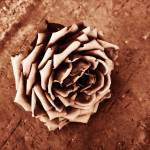 """Rose I"" by bijoux"