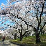 """Cherry Blossom"" by Hypoactivemedia"