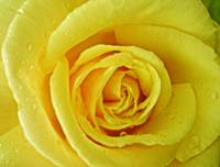 Yellow Rose of