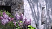 Lilacs by the Stone Cottage