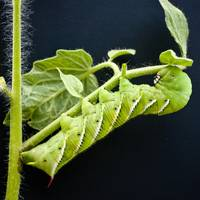 Tobacco Hornworm on Tomato Vine (on Black)