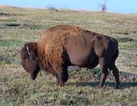 Bison, Wildlife