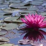"""Red Water Lily"" by jnphoto"
