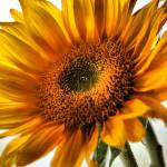 """Sunflower"" by melonphotography"
