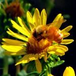 """Bee on Yellow Flower"" by Terriair"