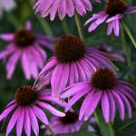 """Purple Coneflowers by Jim Crotty"" by jimcrotty"