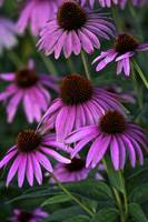 Purple Coneflowers by Jim Crotty