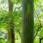 """Eucalyptus Trees II"" by tagshots"