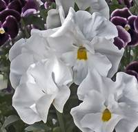 White Pansies   049
