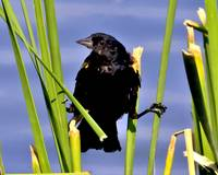 Male Red-winged Blackbird