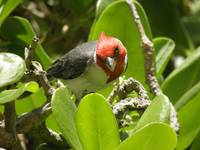 Red-Crested Cardinal Wink