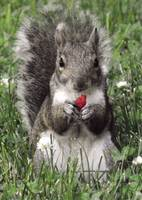 Raspberry Squirrel