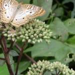 """Butterfly Beauty"" by crazyabouthercats"