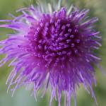 """thistle flower"" by nathangriffith"