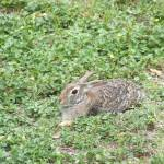 """""""Cottontail rabbit"""" by meganrenehoover"""