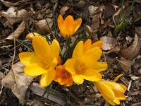 Yellow crocus in full bloom