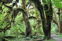 Hoh Rainforest, Hall of Mosses