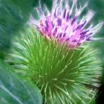 """""""painterly thistle"""" by vickicook"""