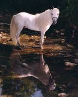 Horse Refllected in Stream