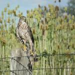 """Coopers Hawk close"" by Coloradographicalchemy"