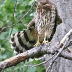 """Coopers Hawk 2"" by Coloradographicalchemy"