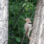 """Northern Flicker 1"" by Coloradographicalchemy"