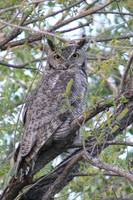 Great Horned Owl 1