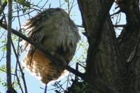 Headless Great Horned Owl