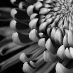 """B&W Chrysanthemum macro"" by mattosbornephotography"