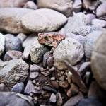 """AMERICAN TOAD"" by photographybyryankelly"