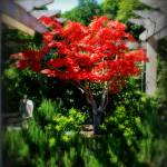 """""""Maple tree"""" by PerryWebster"""