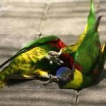 """""""Wrestling parrots"""" by jackrosado57"""