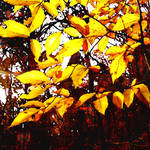 """yellow leaves"" by pietrastone"