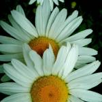 """""""Daisies"""" by stillsunday"""