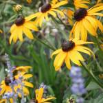 """Black Eyed Susans"" by kimmerhaw"