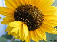 Sunflower 0037