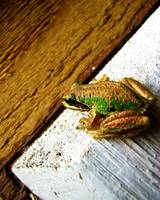 Tree Frog in the Greenhouse - 01
