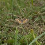 """Pearl Crescent Butterfly"" by jamesmohan"